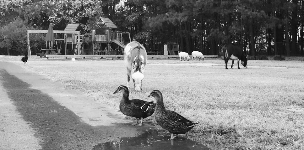 Farm animals on campus